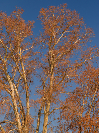 Bare, leafless branches of a tree against a crisp blue winter sky