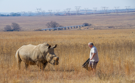 Johannesburg, South Africa - an unidentified game warden supplement feeds dehorned white rhino in an urban nature reserve Editorial