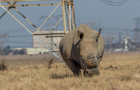 White rhino dehorned for protection against poaching in South Africa image with copy space in landscape format Imagens