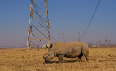 White rhino dehorned for protection against poaching in South Africa image with copy space in landscape format Stock Photo