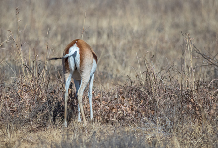 The springbok is a medium-sized antelope found mainly in southern and southwestern Africa image in landscape format with copy space 스톡 콘텐츠
