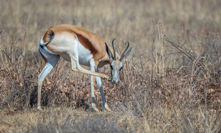 The springbok is a medium-sized antelope found mainly in southern and southwestern Africa image in landscape format with copy space Stock Photo