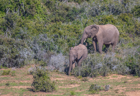 African elephants roam freely in the Addo Elephant National Park in the Eastern Cape province of South Africa