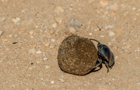 A dung beetle at work rolling a ball of dung image with copy space in landscape format