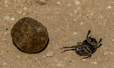 A dung beetle that has fallen off the dung ball it was rolling image with copy space in landscape format