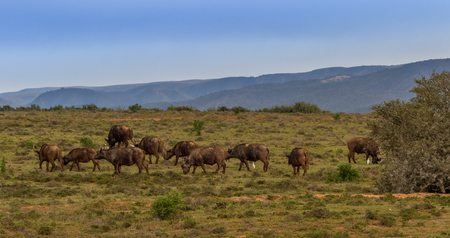 Cape buffalo roam the hills in Addo Elephant National Park in the Eastern Cape province of South Africa Stock Photo