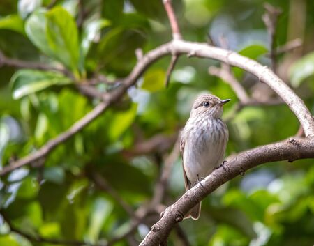 Spotted flycatcher a palaearctic summer migrant photographed in November in South Africa Stock Photo