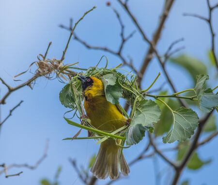 A southern masked weaver a South African near-endemic bird building its nest from woven grass image in horizontal format Stock Photo