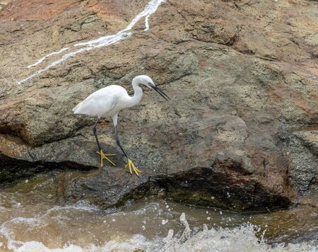 A little egret hunts in the rapids in the Kruger National Park in South Africa Stock Photo