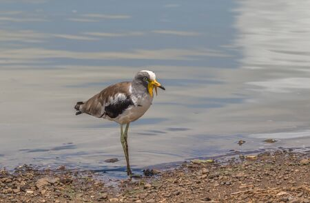 A white-crowned lapwing at the water in the Kruger National Park in South Africa image in horizontal format Stock Photo