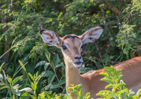 Portrait of a young impala ewe in the Kruger National Park in South Africa image in horizontal format