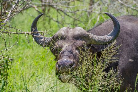 Closeup portrait of an African buffalo grazing on green grass in the Kruger National Park in South Africa Stock Photo