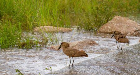 Hamerkop birds hunt on a low-water bridge in the Kruger National Park in South Africa