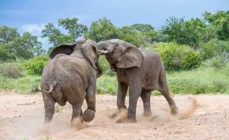 Two young African elephant bulls in a confrontation image in horizontal format Stock Photo