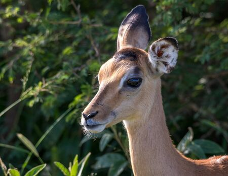 Portrait of a young impala ewe isolated in the African bush image in horizontal format