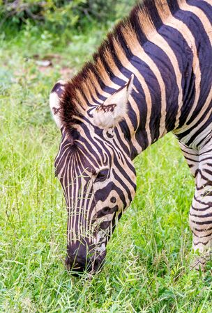 Portrait of a Burchells zebra isolated image in vertical format Stock Photo