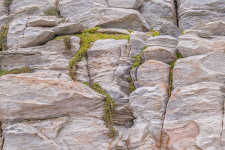 A small delicate green succulent plant grows in cracks in coastal rocks