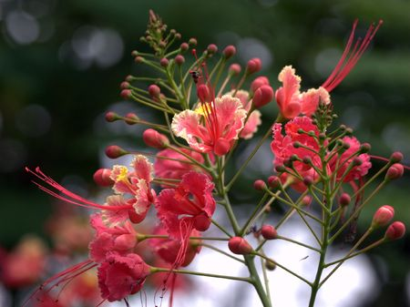 Acacia tree,genus Caesalpinia  Stock Photo