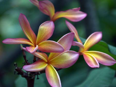 Plumeria spp. Himatanthus,  Venezuela,