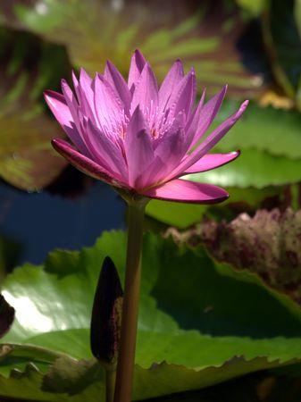 nenuphar: waterlily red Stock Photo