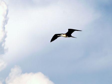 kittiwake, seagull