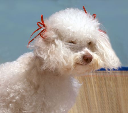 poodle in the beach