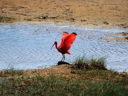 Red Ibis, Venezuela