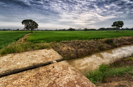 paddy field: Morning view at paddy field
