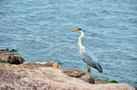 grey: Grey heron Stock Photo