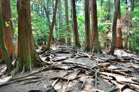京都鞍馬寺木ルート パス 写真素材