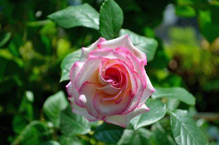 minuet: Vine rose Minuet