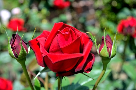 blau: Rose Vine son Blau Stock Photo
