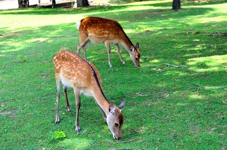 nara park: Deer in Nara Stock Photo