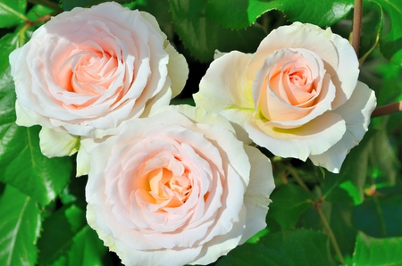Rose Johann Strauss