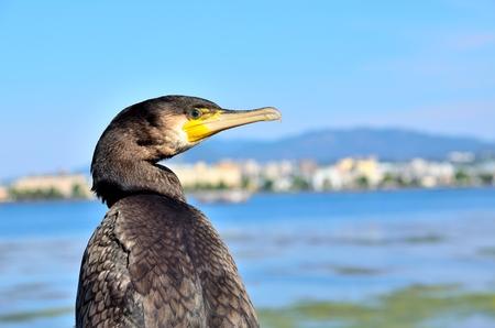 cormorant: Japanese Cormorant