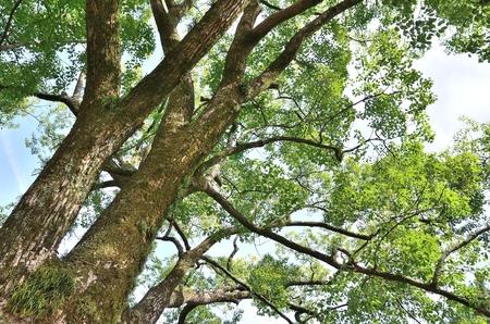 cinnamomum: Cinnamomum camphora
