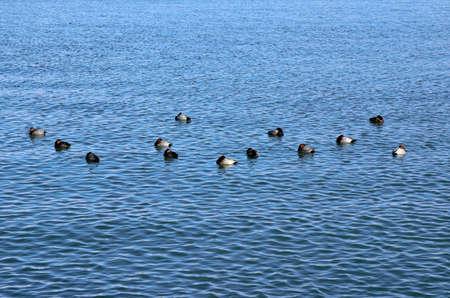 waterfowl: Biwako waterfowl