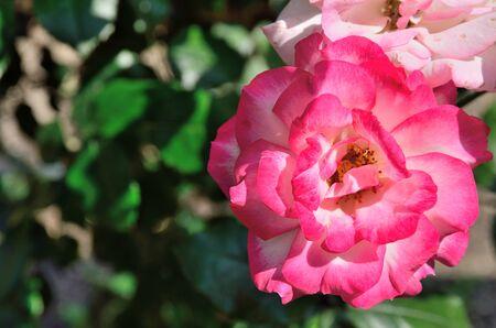 minuet: Rose