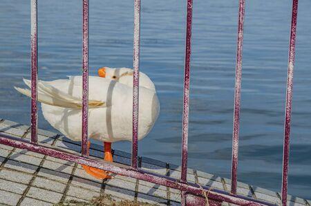 Goose at Otsu Port Shiga Prefecture