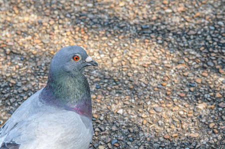 Pigeon total