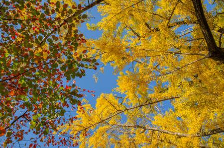 Autumn leaves and ginkgo bilgo