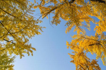 Ginkgo, blue sky