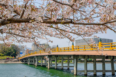 Karahashi bridge and cherry blossoms in Seta, Shiga Prefecture
