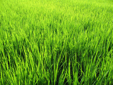 Luscious green wheat field in Japan Stock Photo