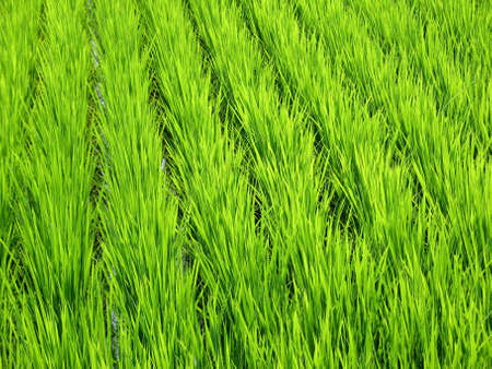 Luscious green wheat field found in Japan