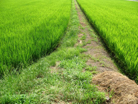 Pathway in the middle of a green field in Japan