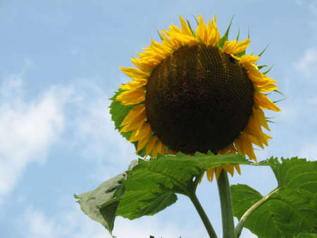 A huge sunflower against big blue sky Stock Photo