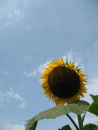 A huge sunflower against beautiful blue sky Stock Photo