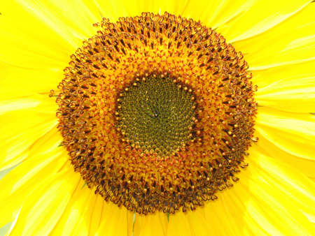A closeup view of a bright yellow sunflower