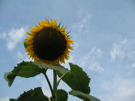 A huge sunflower set against blue sky